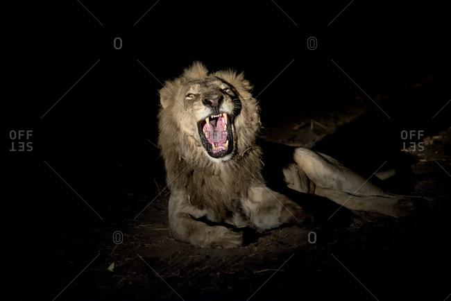 Male lion growling at night