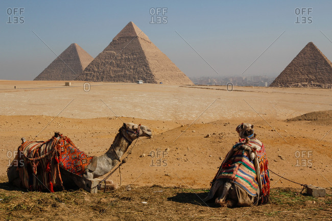 Two camels in front of three pyramids