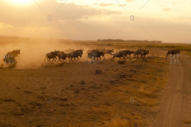 Wildebeest running in the dust at sunset