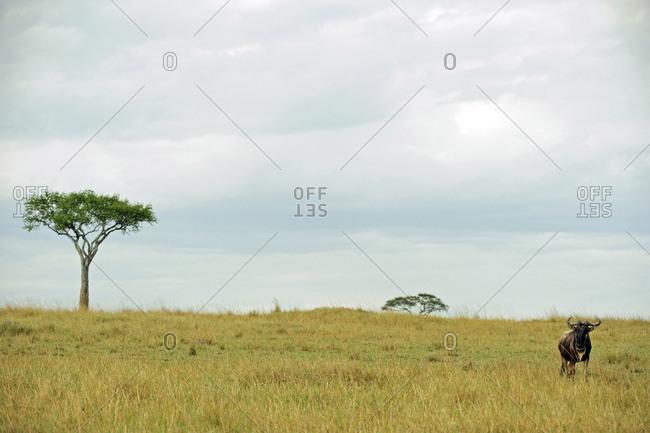 Single wildebeest looking in the savanna