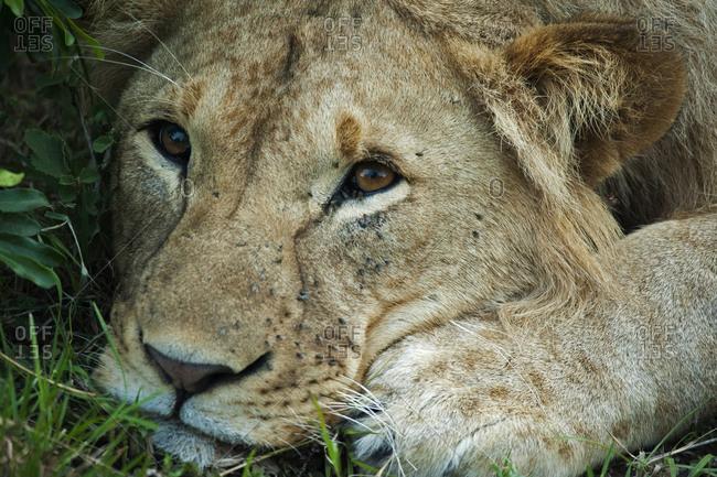 Portrait of male lion