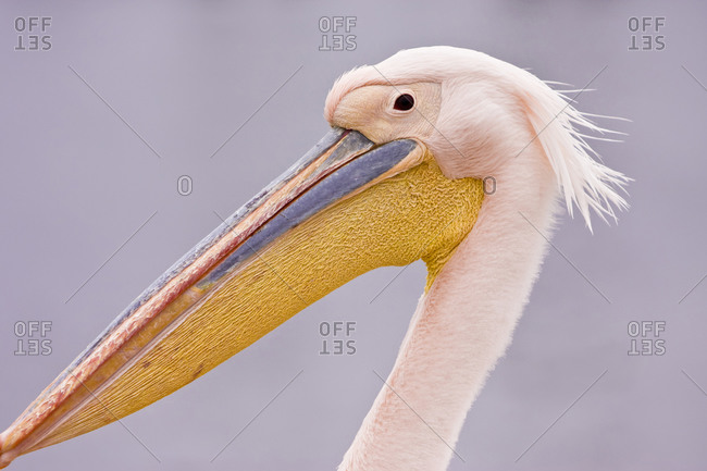 Head shot of Eastern White Pelican