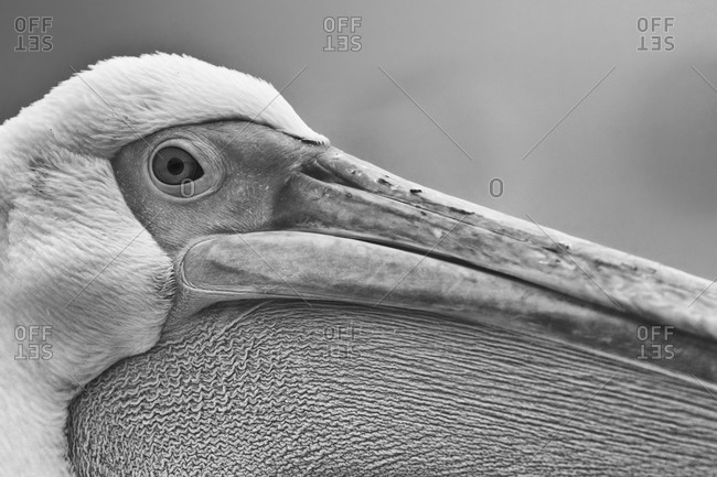 Extreme Close-up of Eastern White Pelican