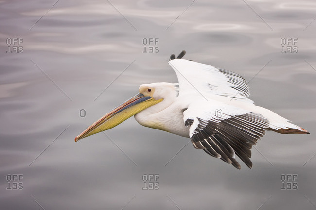 Eastern White Pelican in flight over smooth water