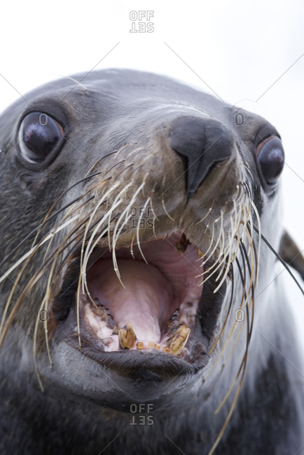 Extreme Close-up of a Cape Fur Seal