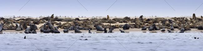 A colony of Cape Fur Seals