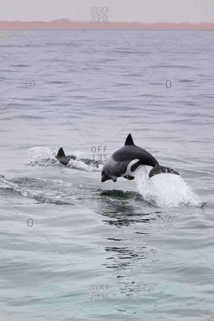 Rare pregnant Heaviside's Dolphin breaching