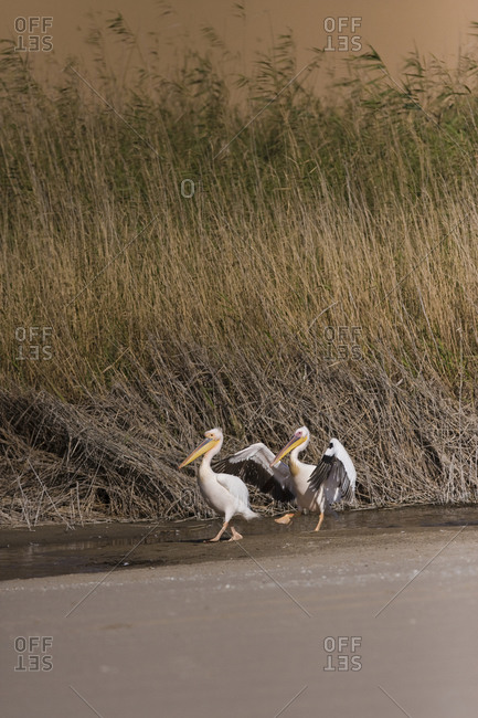 Two Eastern White Pelicans