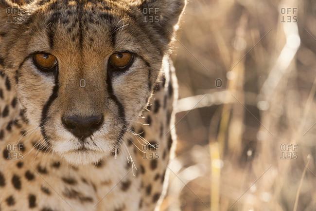 Off-center close-up of a cheetah