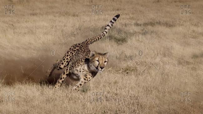 Cheetah running at the Cheetah Conservation Foundation