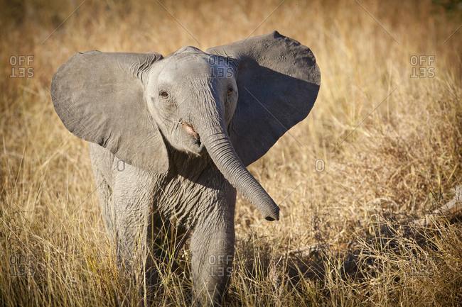 Young Bush Elephant