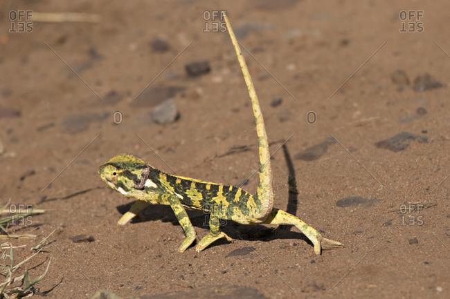 A flap necked chameleon (Chamaeleo dilepis) walking