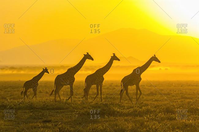 Giraffa camelopardalis tippelskirchi) walking in front of the rising sun