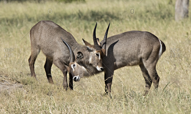 Two young male common waterbuck (Kobus ellipsiprymnus ellipsiprymnus) sparring
