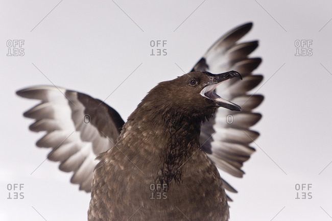 Close-up of an Antarctic Skua