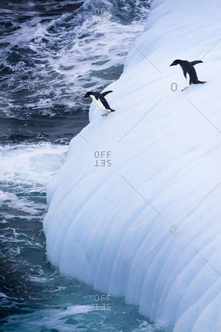 Adelie Penguins jump of an iceberg