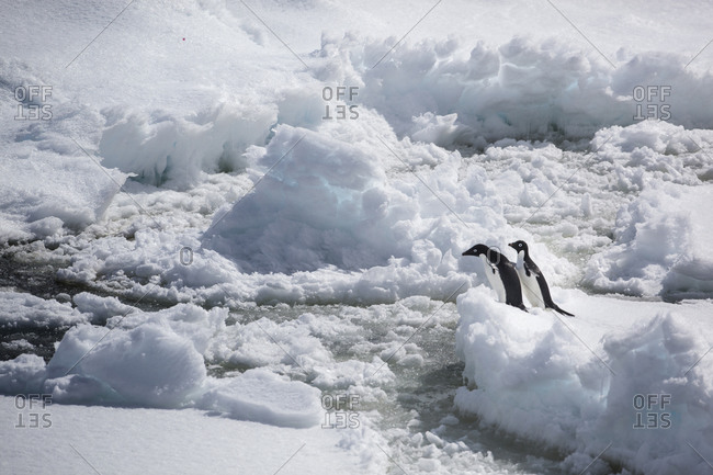 Two Adelie penguins negotiate sea ice