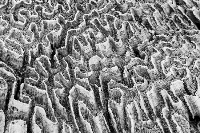 Coral close-up in black and white