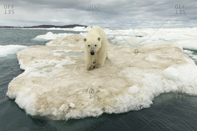 Young Polar Bear (Ursus maritimus) standing at edge of ice pack in Frozen Strait near Arctic Circle along Hudson Bay