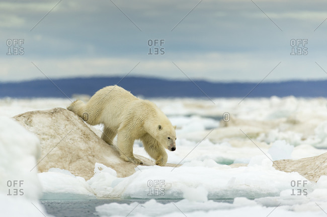 Young Polar Bear (Ursus maritimus) walking across ice pack in Frozen Strait near Arctic Circle along Hudson Bay