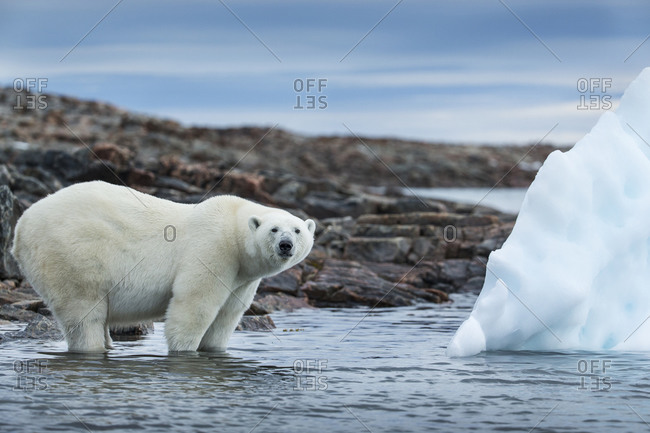 Polar Bear (Ursus maritimus) standing by iceberg along shoreline of Harbour Islands near Arctic Circle along Hudson Bay
