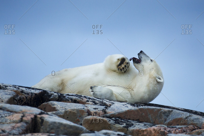 Adult Male Polar Bear (Ursus maritimus) yawns while resting on rocky outcrop atop Harbour Islands along Hudson Bay