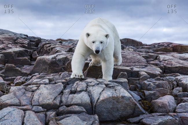 Polar Bear near Arctic Circle along Hudson Bay