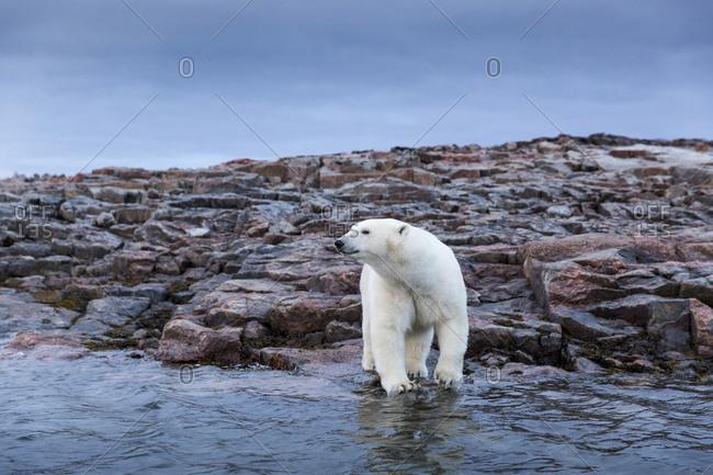 Adult Male Polar Bear (Ursus maritimus) standing along rocky shoreline of Harbour Islands along Hudson Bay
