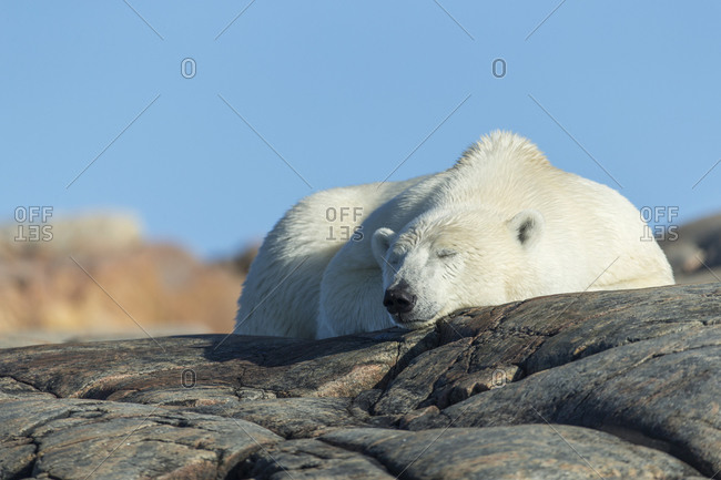 Polar Bear (Ursus maritimus) resting on rocky mountain slope on Harbour Islands along Hudson Bay