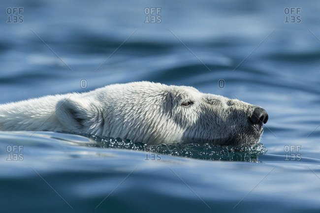 Polar Bear (Ursus maritimus) swimming near Harbour Islands in Hudson Bay just south of Arctic Circle