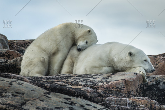 Polar Bear and cub (Ursus maritimus) resting along rocky shoreline of Harbour Islands in Hudson Bay