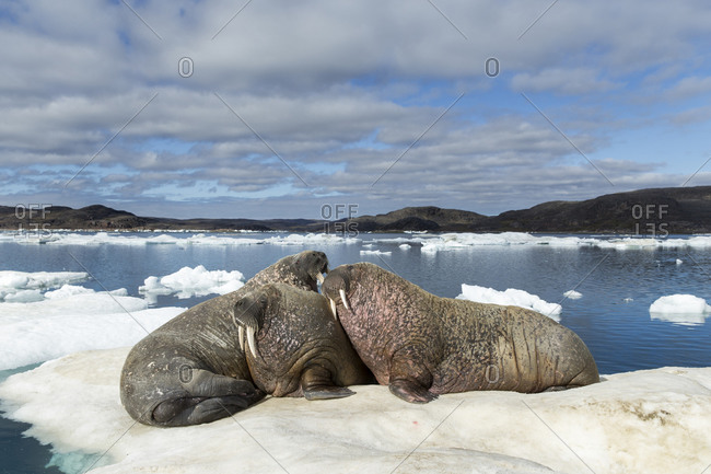 Group of Walrus (Odobenus rosmarus) resting on ice floe in Frozen Strait near White Island along Hudson Bay