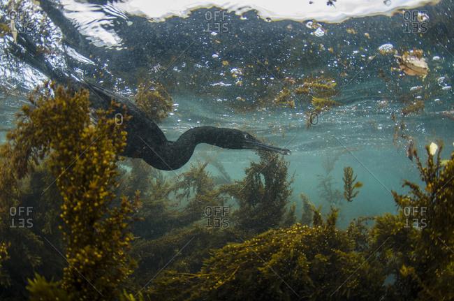 Flightless Cormorant (Phalacrocorax harrisi) underwater