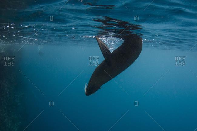 Galapagos Fur Seal (Arctocephalus galapagoensis)