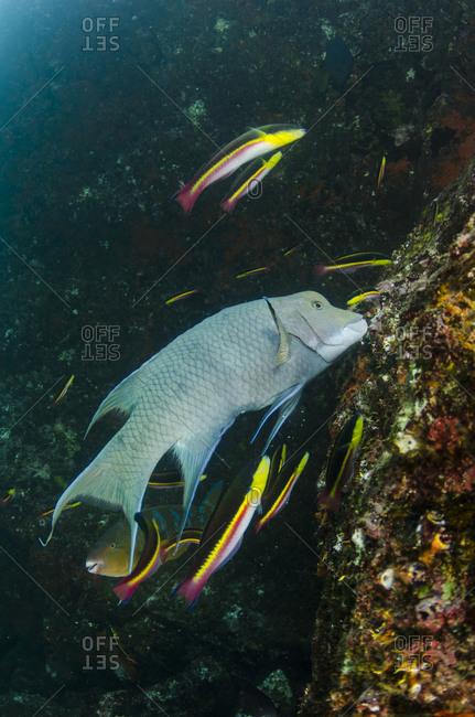 Streamer Hogfish (Bodianus diplotaenia)
