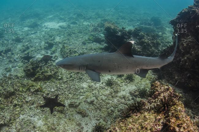 White-tipped Reef Shark (Triaenodon obesus)
