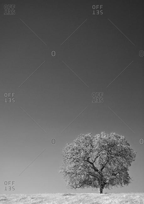 Lone oak tree in the Sierra Nevada foothills