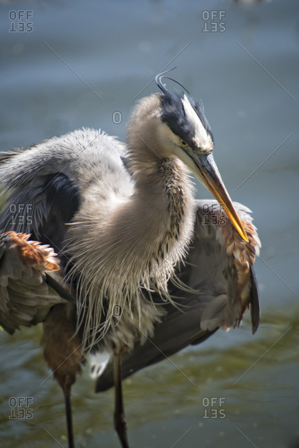 Great Blue Heron staring intently with puffed out wings