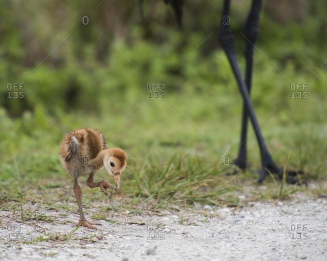 Sandhill Cranes chick