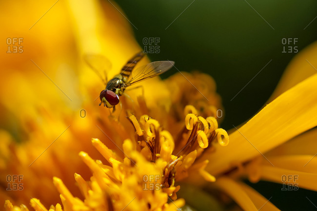 Syrphid or flower fly