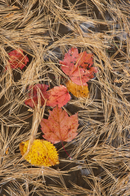 Maple and birch leaves float in pool of White Pine needles