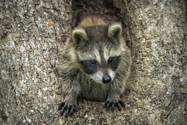 Racoon in a hollow tree