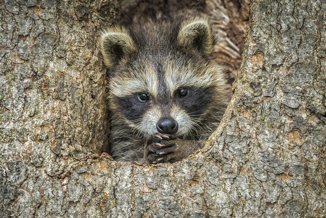Racoon in a hollow tree with paws clasped together
