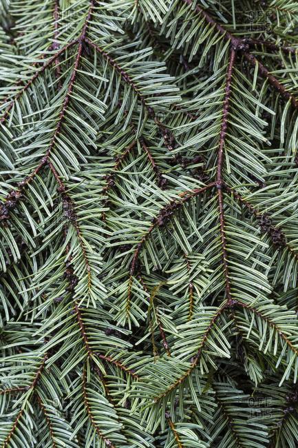 Sitka spruce bough