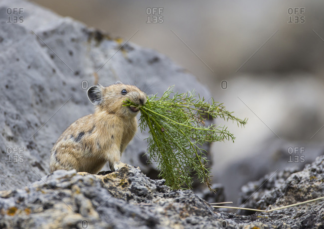 Pica gathering plants for winter food, Wyoming