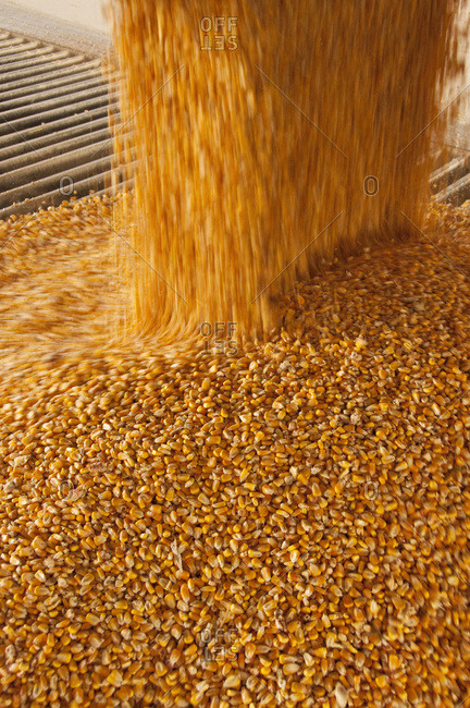 Motion view of harvested grain corn kernels entering an auger at an ethanol plant, near Sioux City, Iowa, USA