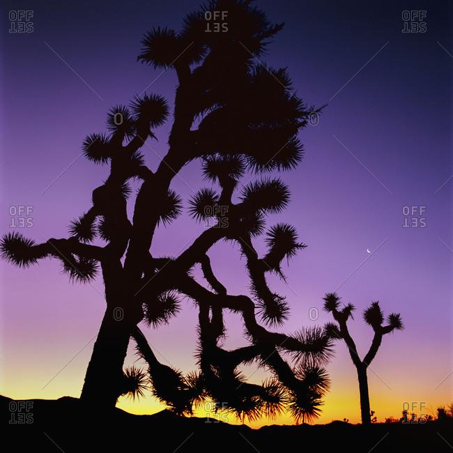 Joshua trees at dusk, Joshua Tree National Park, California, United States of America
