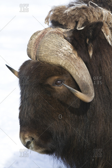 Captive at the Alaska Wildlife Conservation Center in Portage Alaska in South-central Alaska Portrait of a Muskox bull Good head shot Winter