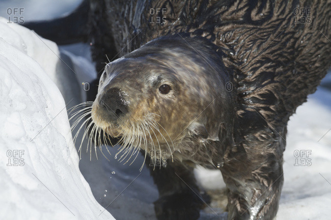 Sea Otter in Whittier, Alaska Winter Otters South-central Alaska
