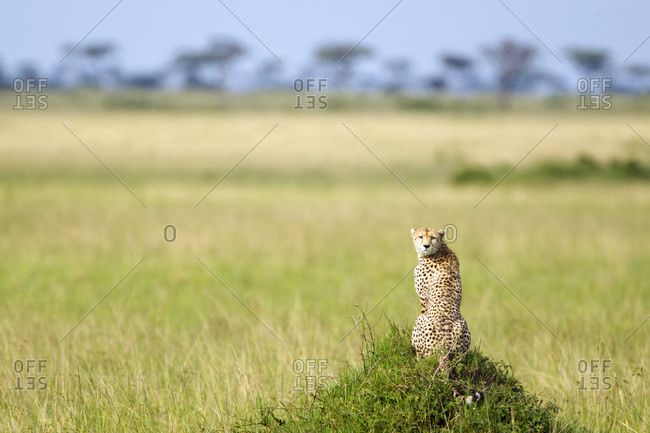 Cheetah sitting in the Serengeti plains landscape located in Tanzania with it's head turned back to the camera, Tanzania